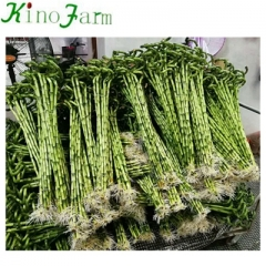 Lucky Bamboo Wholesale
