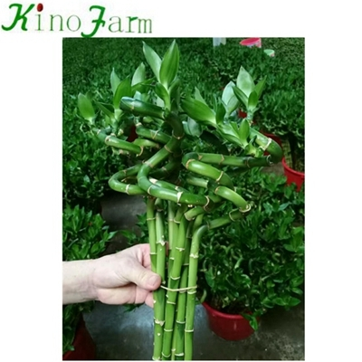 curly lucky bamboo plant