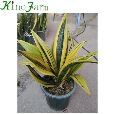 ヘビ植物Golden Sansevieria
